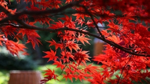 بذر درخت افرا سرخ ژاپنی