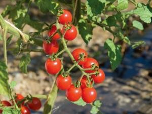 بذر گوجه گیلاسی قرمز رقم (Red Cherry)