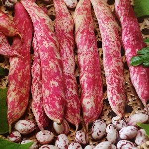 بذر لوبیا چیتی پاکوتاه رقم Flambo