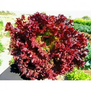 بذر کاهو لولا روزا قرمز تیره