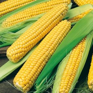 بذر ذرت شیرین طلایی