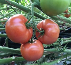 بذر گوجه فرنگی اف یک