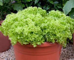بذر کاهو سبز لولا بیوندا