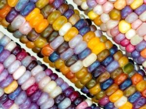 بذر ذرت رنگین کمان زینتی