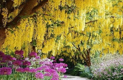 بذر درختان زینتی کمیاب