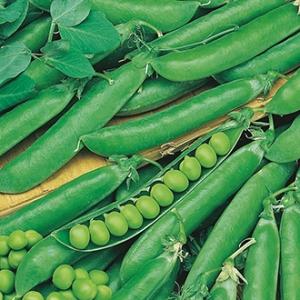 بذر نخود فرنگی غلاف ده تایی دانه درشت بیولوژیک