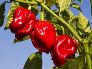 بذر فلفل هابانرو قرمز