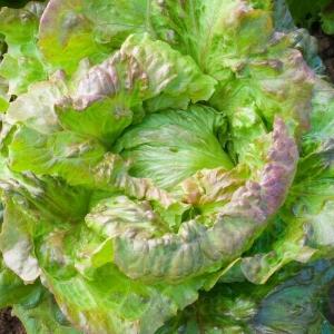 بذر کاهو پیچ نوک قرمز بیولوژیک (تابستانه)