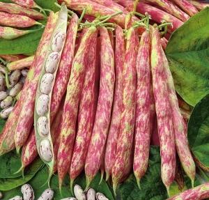 بذر لوبیا چیتی پاکوتاه بیولوژیک