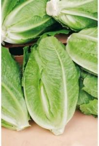 بذر کاهو رسمی سبز بیولوژیک (زمستانه)