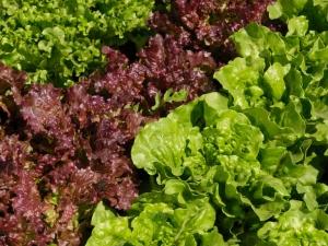 بذر کمیاب بیبی کاهو میکس قرمز و سبز (چهارفصل)