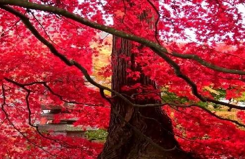 بذر درخت افرا قرمز ژاپنی