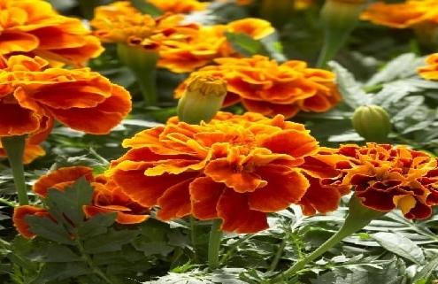 بذر گل جعفری چه شکلی است-min