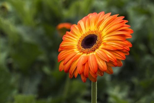 کاشت بذر گل ژربرا