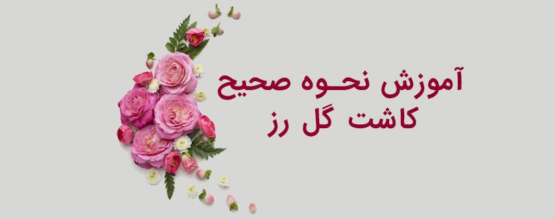 بذر گل رز