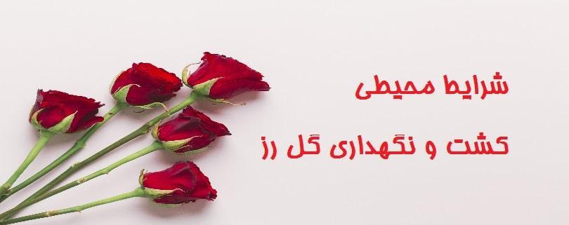 کشت و نگهداری گل رز