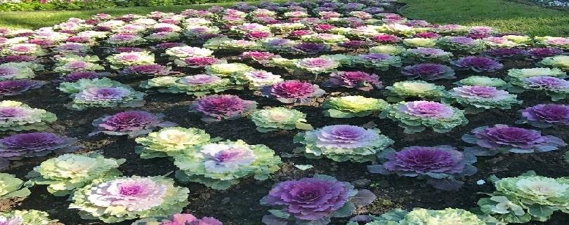 بذر گل کلم زینتی