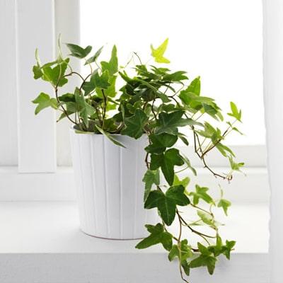 گیاه بالارونده پاپیتال English Ivy