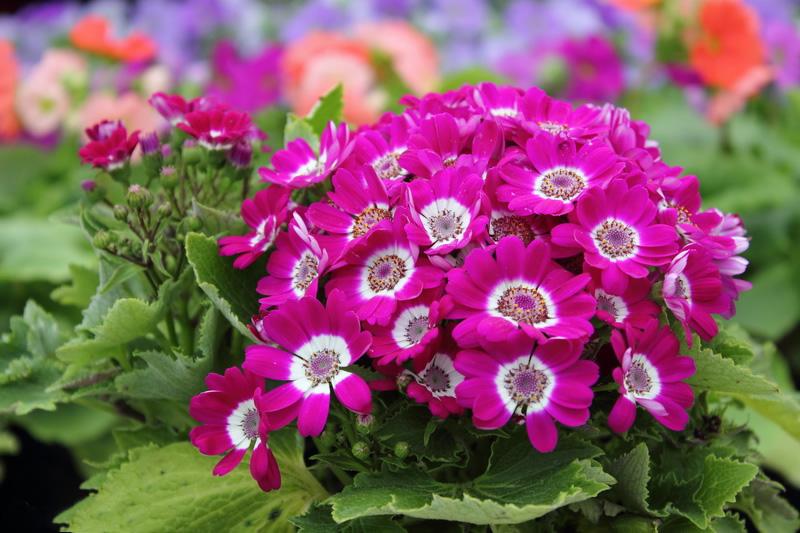 گل سینره