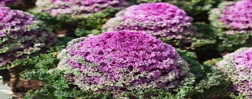 زمان کاشت بذر گل کلم زینتی