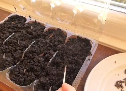 آموزش کاشت بذر گل کوکب