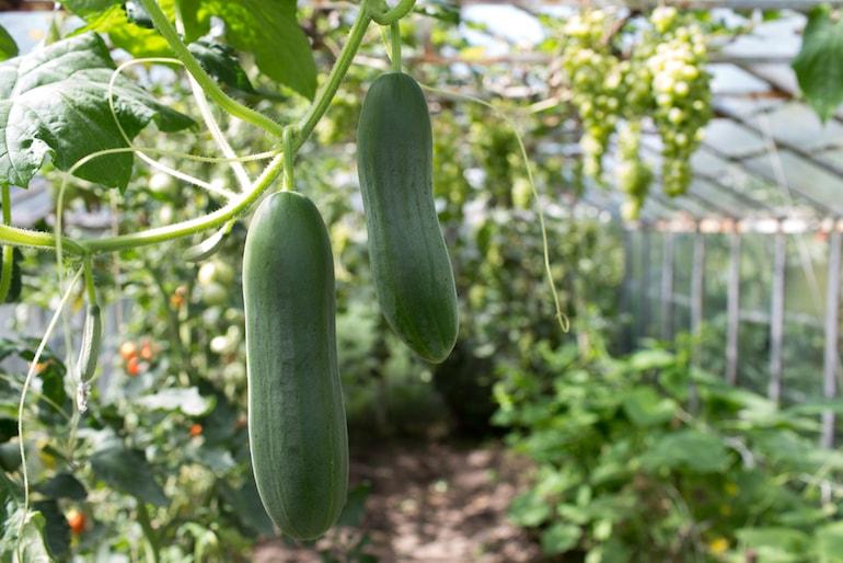 پرورش خیار گلخانه ای