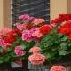 خرید اینترنتی بذر گل شمعدانی