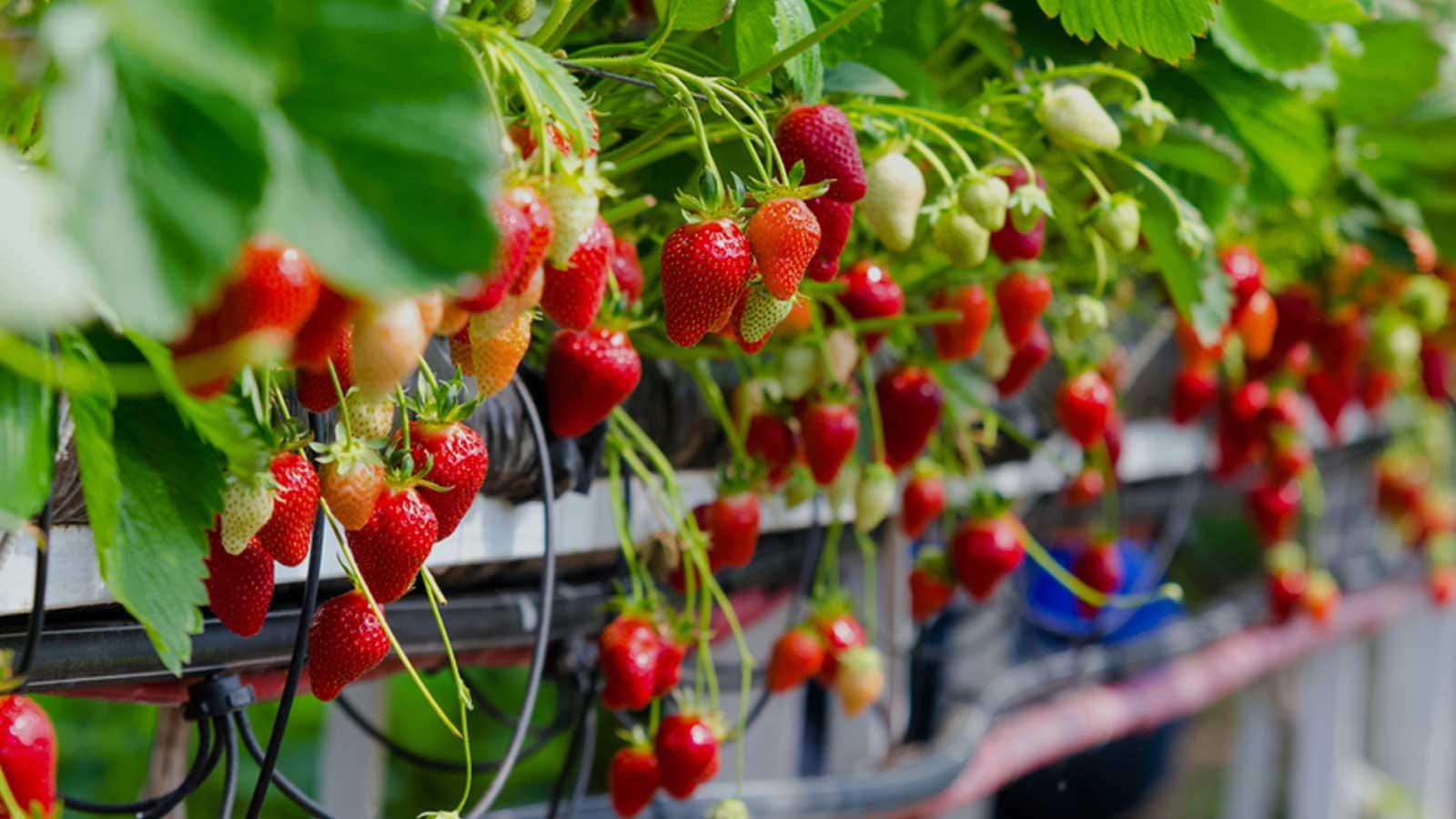 پرورش توت فرنگی در گلخانه