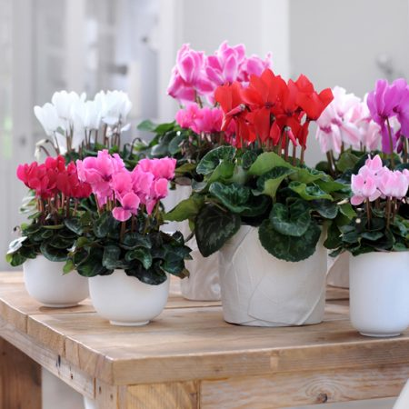 گل سیکلامین