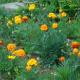 آموزش کاشت بذر گل جعفری