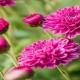 بذر گل داوودی
