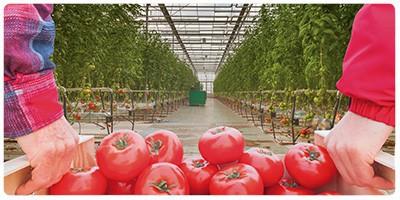 بذرهای F1 گلخانهای و مزرعه