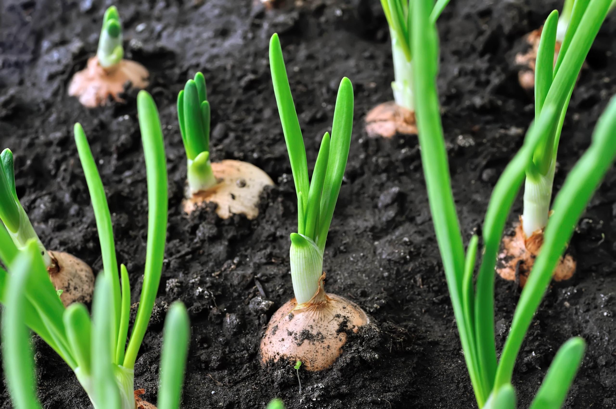 آموزش کاشت بذر پیاز