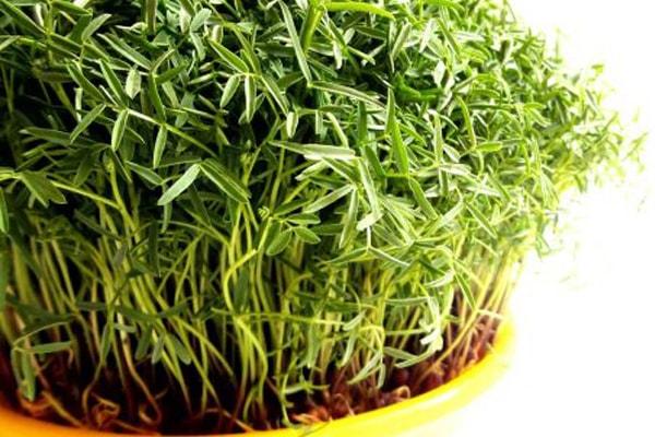 زمان مناسب برای کاشت سبزه عید ماش