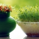 کاشت سبزه عید نوروز