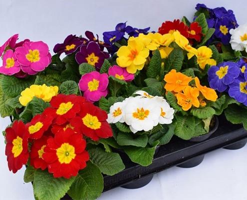 گل بهاری پامچال