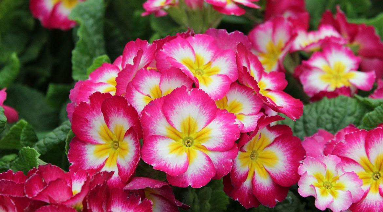 گل پامچال