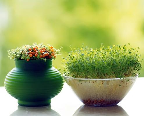 کاشت سبزه عدس