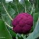 آموزش کاشت بذر گل کلم بنفش