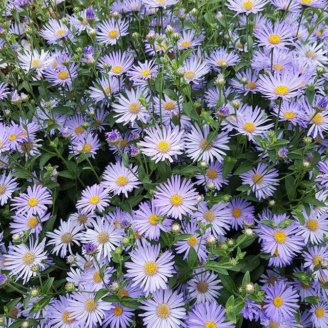گل آستر (ستاره ای)