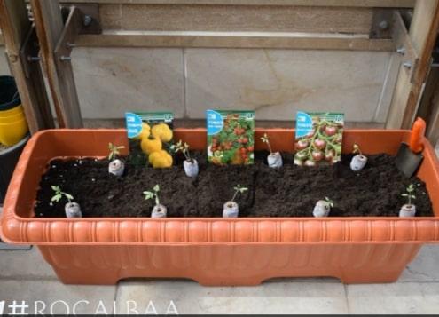 آموزش انتقال انواع نشاء گوجه فرنگی به گلدان