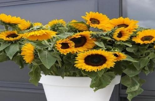 آموزش کاشت گل آفتابگردان