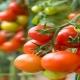 کاشت گوجه فرنگی و نکاتی که حتما باید بدانید