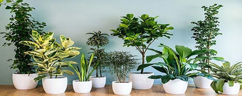 معرفی کامل گیاه آپارتمانی سانسوریا