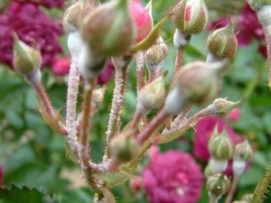 محافظت از گل های سرخ در برابر شته ها و آفات