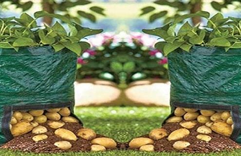 کاشت سیب زمینی در گلدان