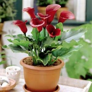 معرفی انواع پیاز گل