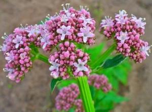 گیاهان دارویی پر طرفدار در طب سنتی