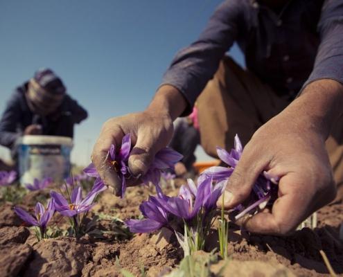 آموزش کاشت پیاز زعفران