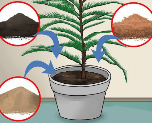خاک مناسب برای نگهداری کاج مطبق